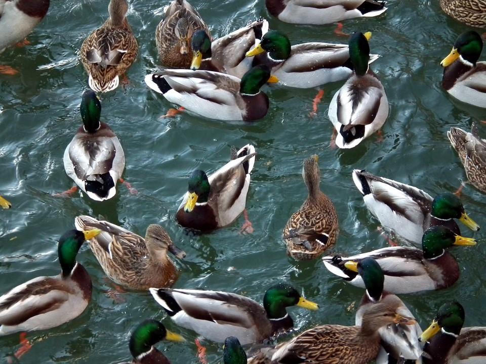 Sorsia uimassa / Mallards swimming
