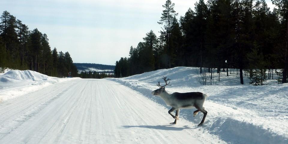Poro tiellä / Reindeer on road