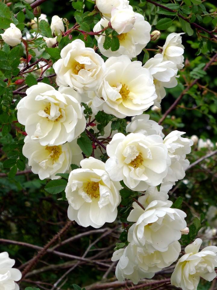 Juhannusruusu / Rosa pimpinellifolia