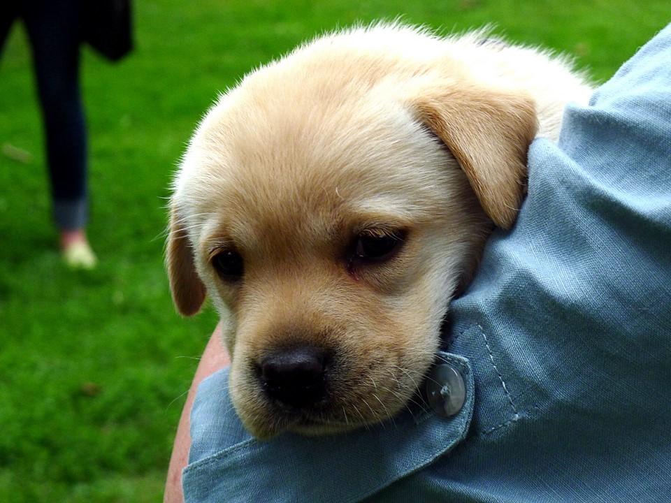 Labradorinnoutajan pentu / Labrador Retriever puppy