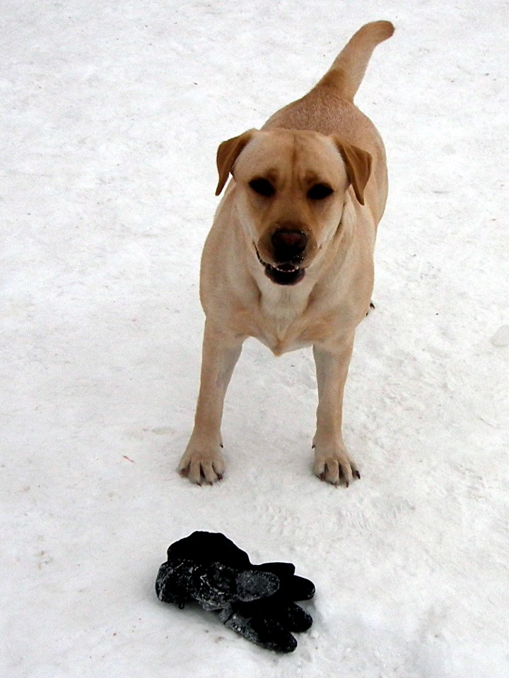 Labradorinnoutaja / Labrador Retriever