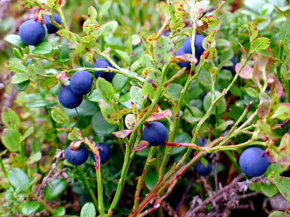 Mustikoita / Blueberries