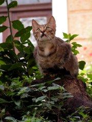 Kroatialainen kissa
