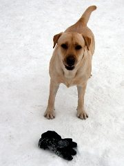 Koira ja hanska
