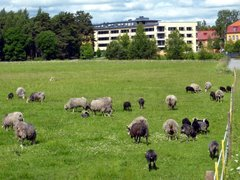 Gute sheep