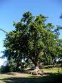Iso puu