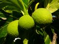 Breadfruits
