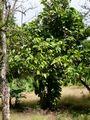Guavapuu