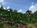 Banaaniviljelmä