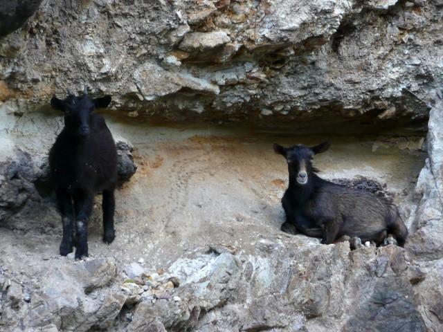 Chèvres noirs