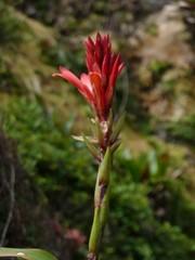 Vuoriananaksen kukka