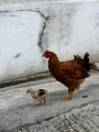 Pullet and hen
