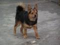 Yksi koira