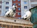 Pigeons (3)
