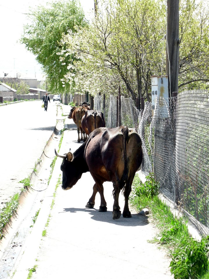 Cows on the sidewalk