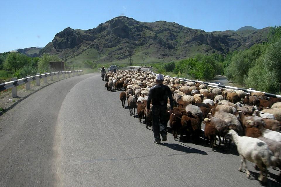 Moutons au chemin