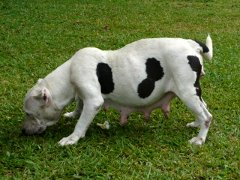 Is that a dog or a cow?