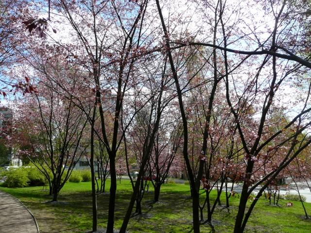 Cerisiers en période de floraison