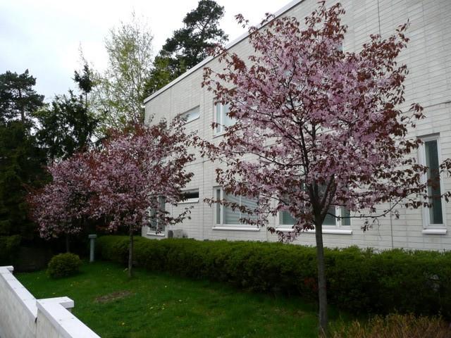 Cerisiers à rue Kulosaaren puistotie