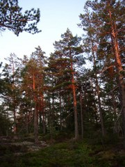 Evening sun gives its colour to the pines