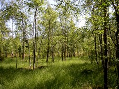 Small birches and other trees