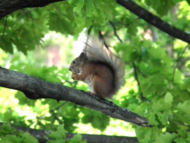 Orava puussa Hakunilassa