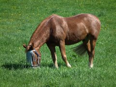 Hevonen Hakunilassa Vantaalla