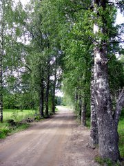 Birches by a dirt road at Himalansaari in Ristiina