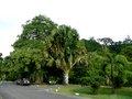 Aasiansaitanpuu