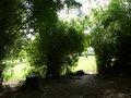Bambusa spinosa
