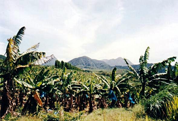 Banana farm near Saint-Pierre